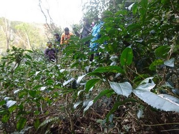 170129ふるさと食の再発見「寒茶」12、水戸地区で茶の木狩り (コピー).JPG