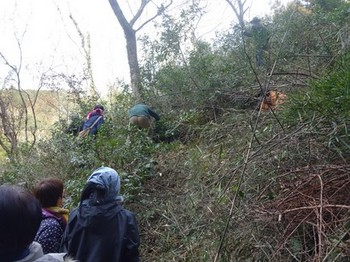 170129ふるさと食の再発見「寒茶」13、水戸地区で茶の木狩り (コピー).JPG