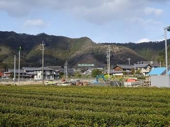 170324いび茶の里カフェ⑬、カフェ裏の茶園 (コピー).JPG