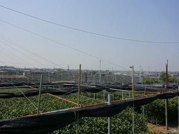 170329西尾めぐり22、稲荷山茶園公園から見る覆下栽培茶園 (コピー).JPG