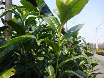 170329西尾めぐり24、稲荷山茶園公園(葵製茶の看板下の茶の樹) (コピー).JPG