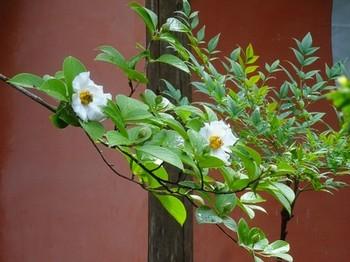 170702彦根めぐり25、龍潭寺(沙羅の花) (コピー).JPG