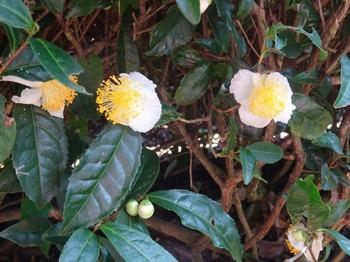 s_171010深緑茶房見学05、お茶の花.JPG