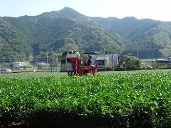 s_171010深緑茶房見学06、3番茶摘採.JPG