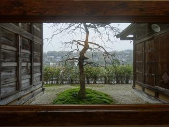s_171114横井照子ひなげし美術館④、枝垂れ梅.JPG