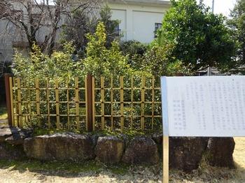 s_180315西尾の抹茶めぐり⑧、紅樹院(西尾茶の原樹).JPG