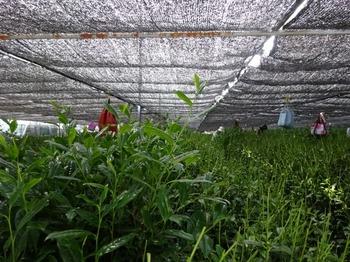 s_180517西尾の抹茶めぐり03、棚式覆下栽培茶園.JPG