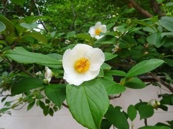 170622三甲美術館⑤、沙羅双樹の花 (コピー).JPG