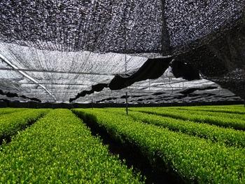 s_180426西尾の抹茶めぐり⑩、乗用摘採機茶園.JPG