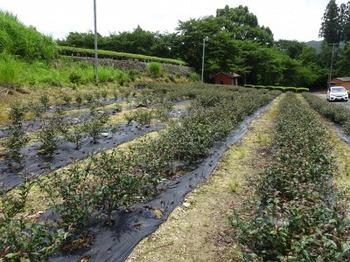 s_180629松阪市伊勢茶04、サンルージュ.JPG