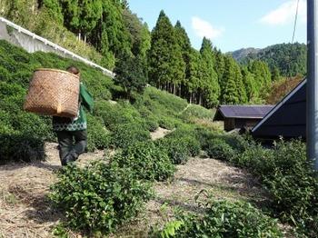 s_181021政所茶産地をめぐるツアー05、茶畑(滋賀県立大学栽培).JPG